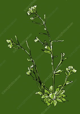 Thale cress, illustration