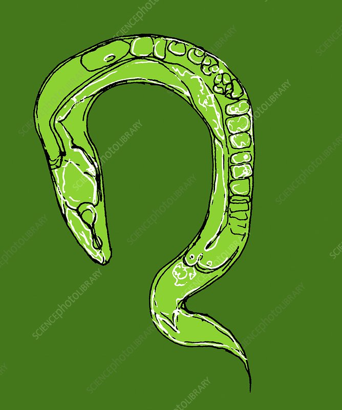C. elegans worm, illustration