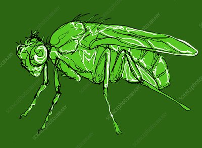 Fruit fly, illustration