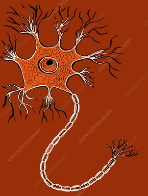 Nerve cell, illustration