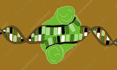 Restriction enzyme and DNA, illustration