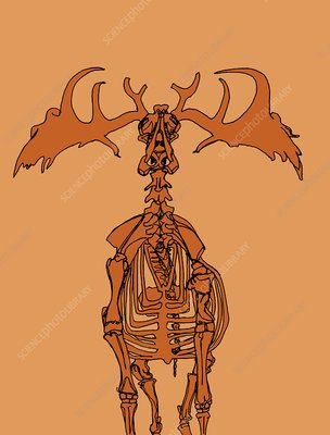 Irish elk skeleton, illustration