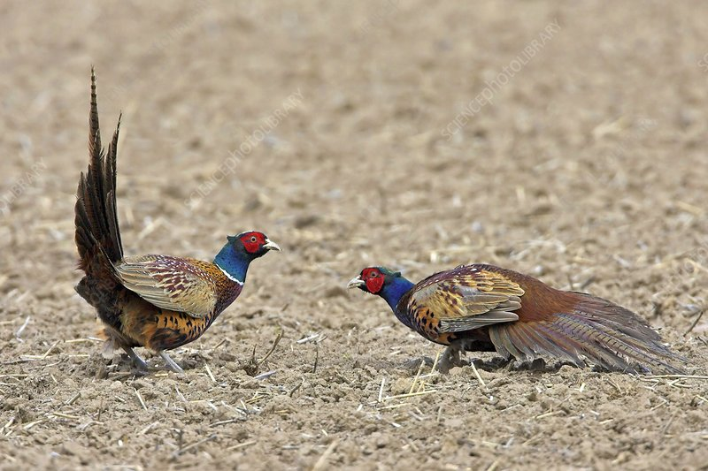 Pheasants fighting