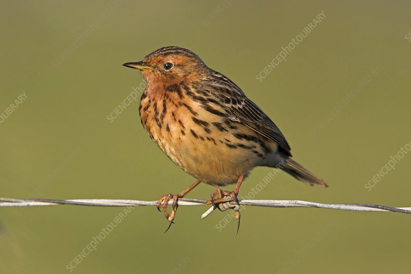 Red-throated pipit on a fence