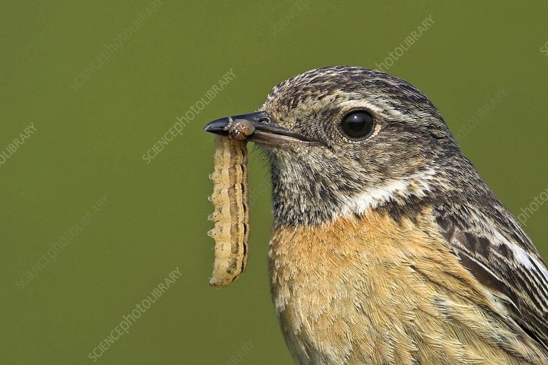African stonechat and prey