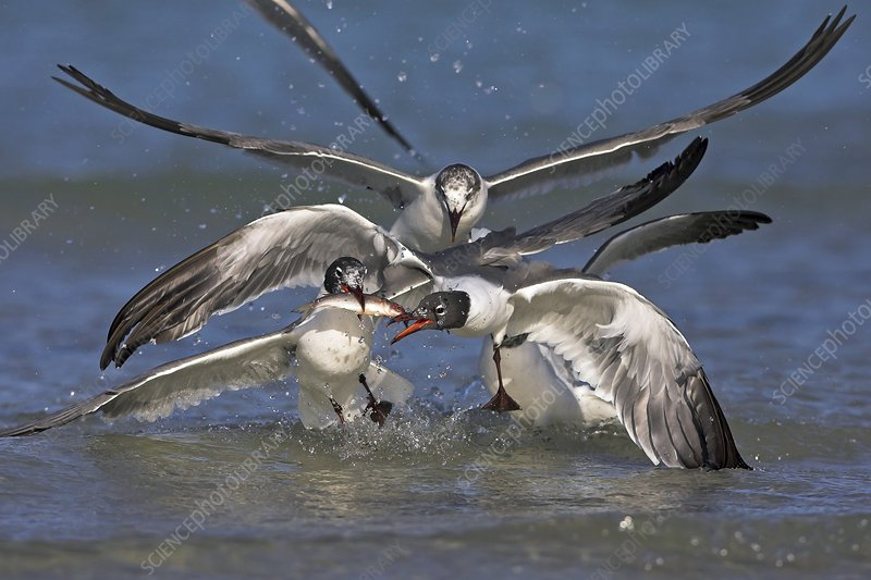 Laughing gulls fighting over a fish