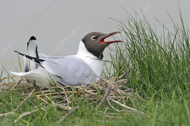 Black-headed gull on its nest