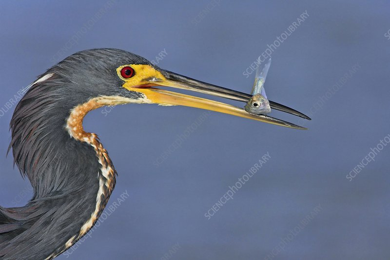 Tricoloured heron and prey
