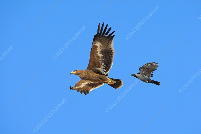 Steppe eagle and crow