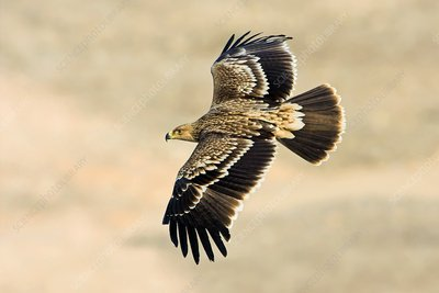 Eastern imperial eagle in flight