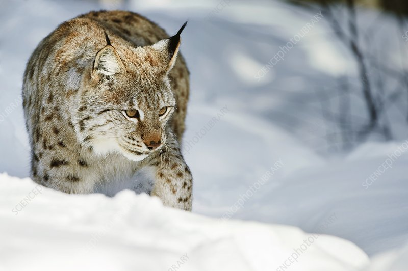 Eurasian lynx in snow