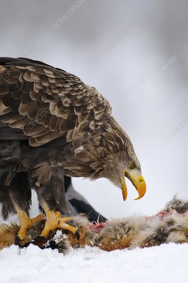 White-tailed eagle with prey