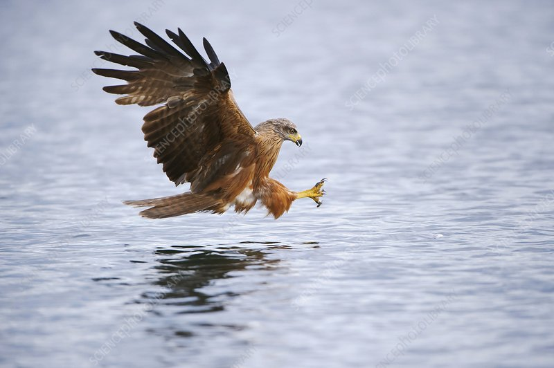 Black kite preparing to catch a fish