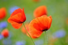 Field poppies (Papaver rhoeas) in flower