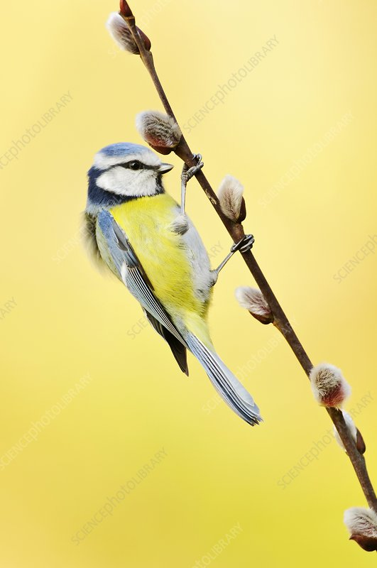 Blue tit on pussy willow