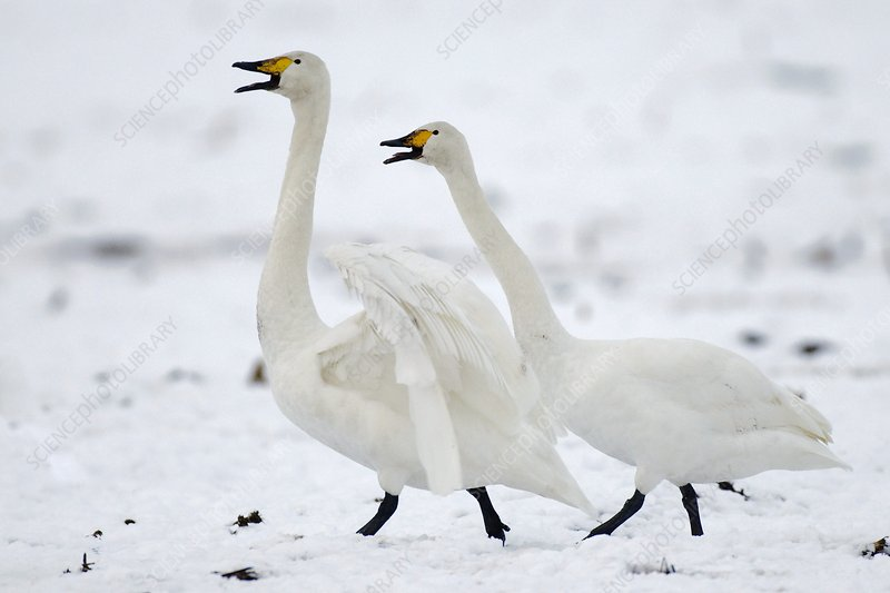 Whooper swans in winter