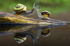 Brown-lipped snails