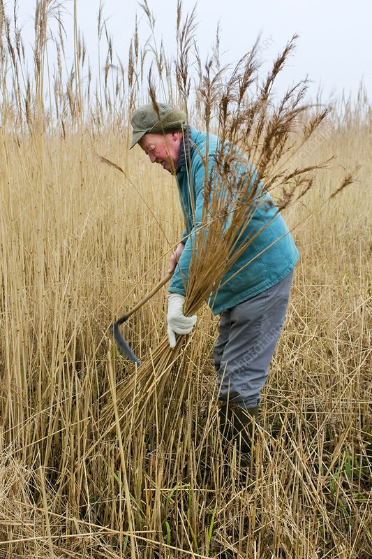 Cutting reed for thatch