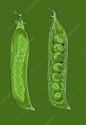 Pea pods, illustration
