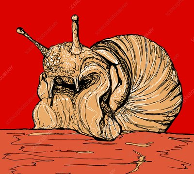 Edible snail, illustration