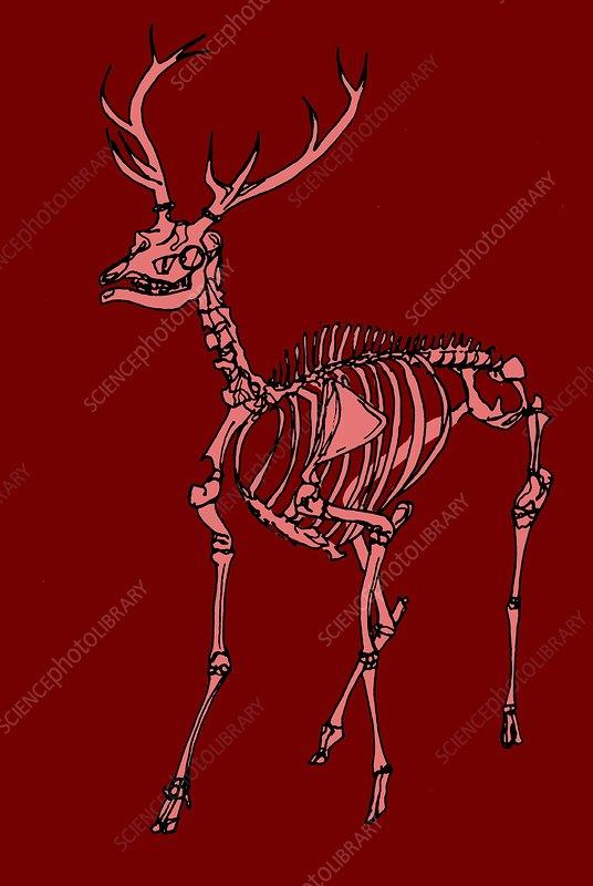 Red deer stag skeleton, illustration