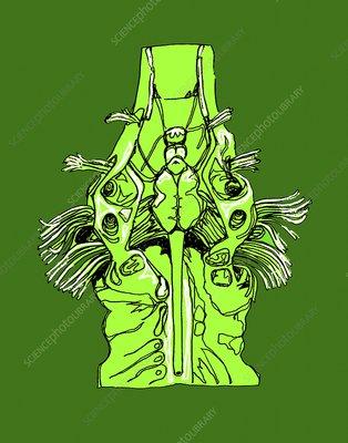Electric ray brain, illustration