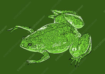 African clawed frog, illustration
