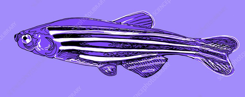 Zebrafish, illustration