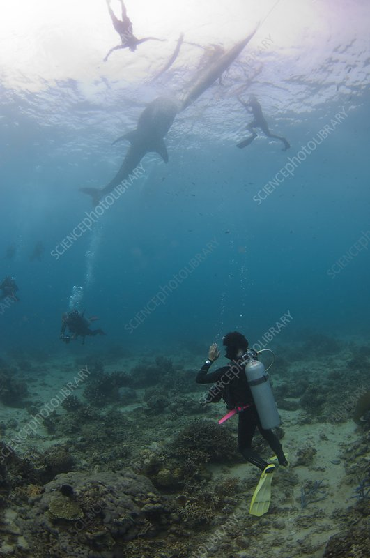 Divers and snorkelers with a whale shark
