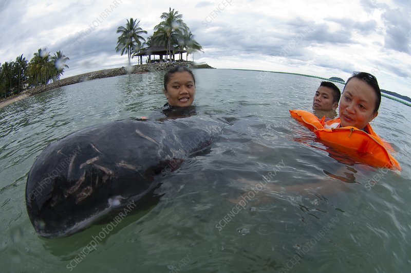 Stranded pygmy killerwhale being helped