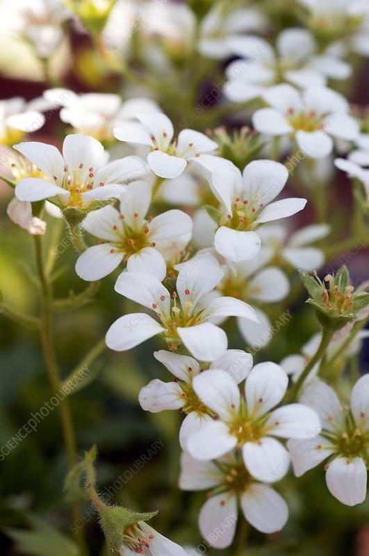 Saxifrage (Saxifraga pickeringii)