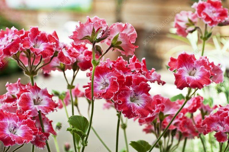 Pelargonium 'Joy'