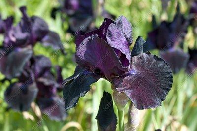 Iris sp