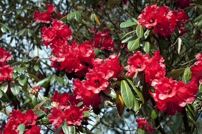 Rhododendron 'Choremia Tower Court'