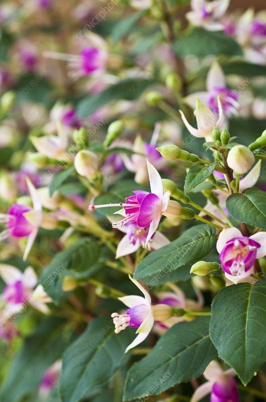 Fuchsia 'Bon Accorde'