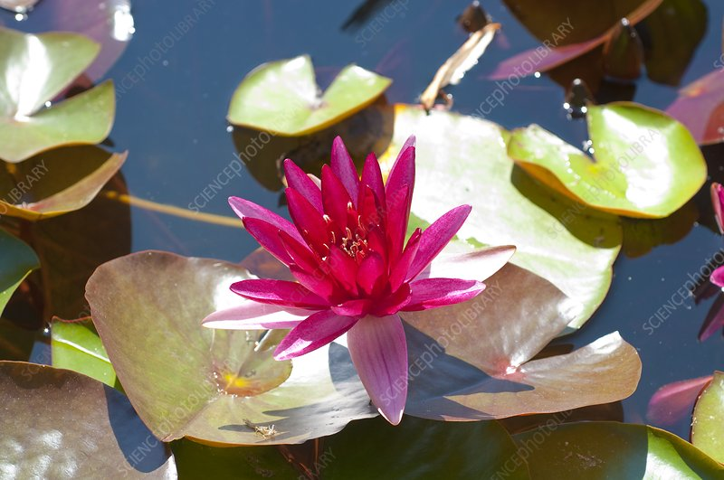 Nymphaea 'Perry's Red Star'