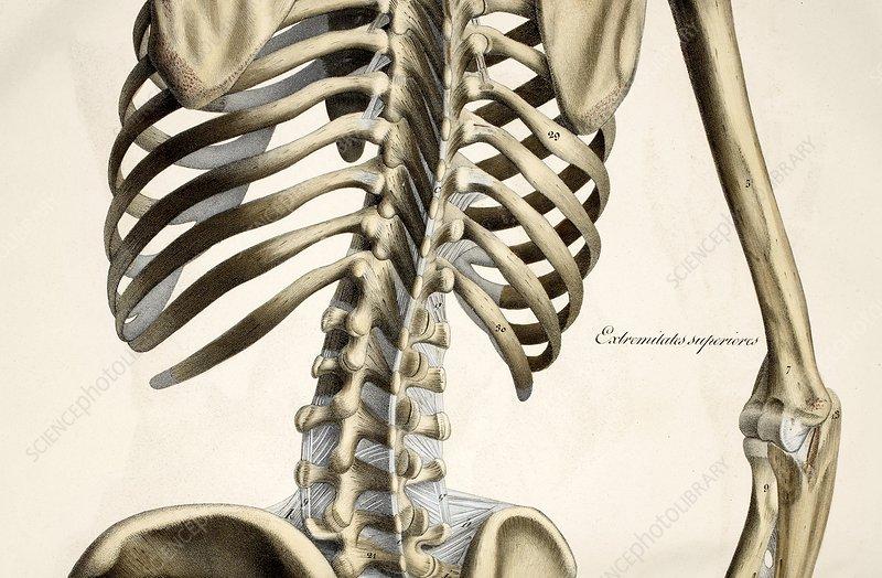 Bones of the torso, artwork