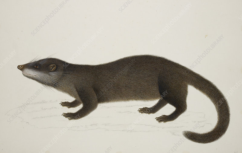 Otter Civet