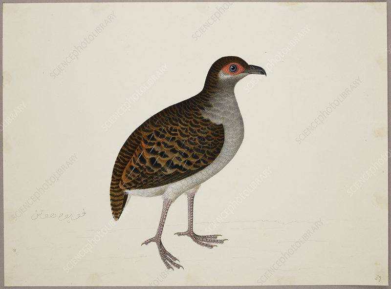 Campbell's Tree Partridge