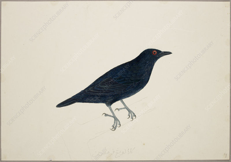 Malay Glossy Starling