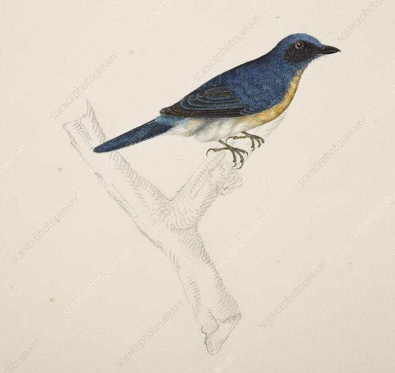 Malayan Common Blue Flycatcher