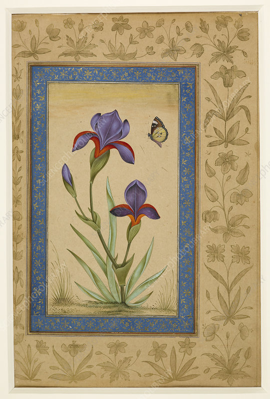 Iris & butterfly