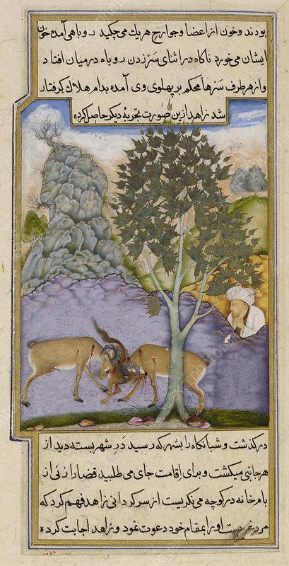 Goats crushing a fox