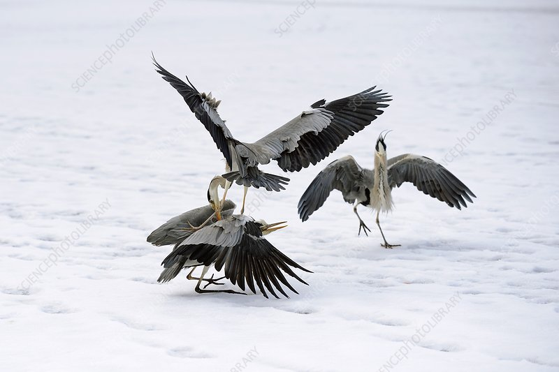 Grey herons fighting over a fish