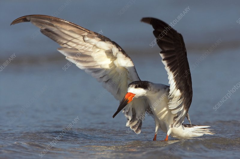 Black skimmer landing on water