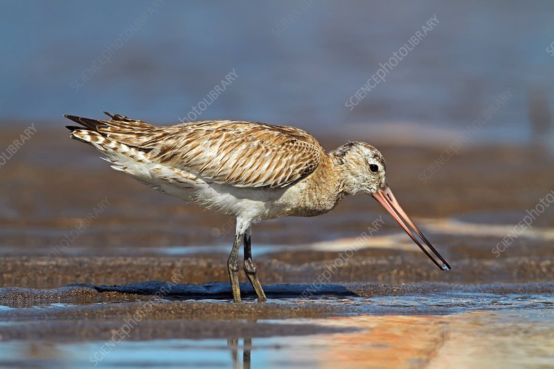 Black-tailed godwit foraging