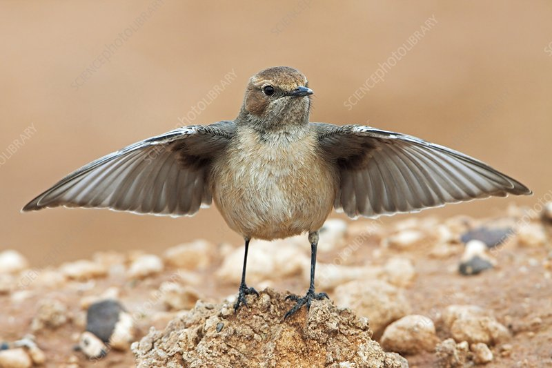 Red-rumped wheatear displaying