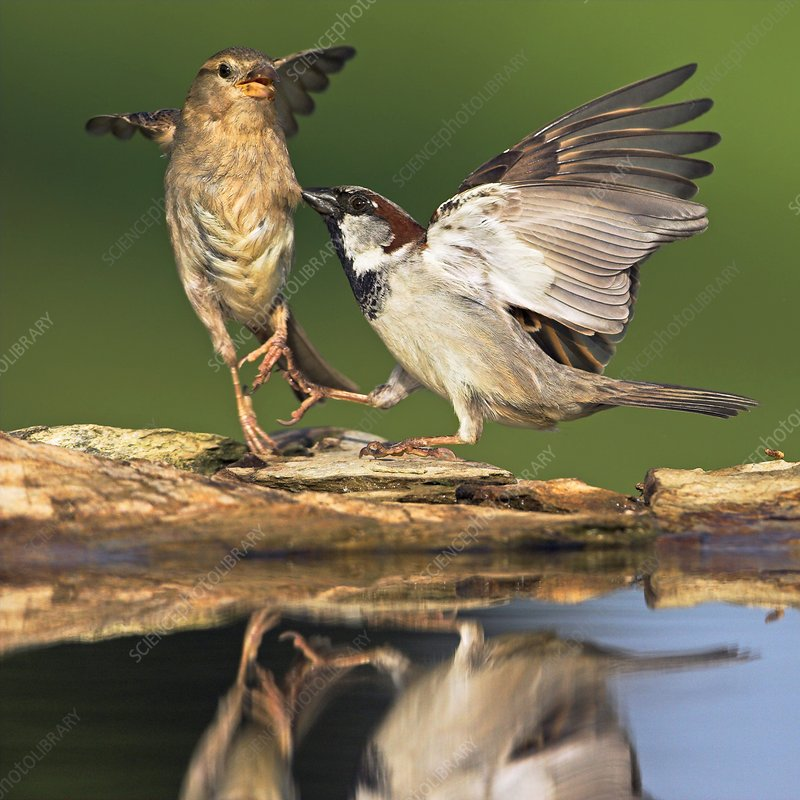 Sparrows fighting