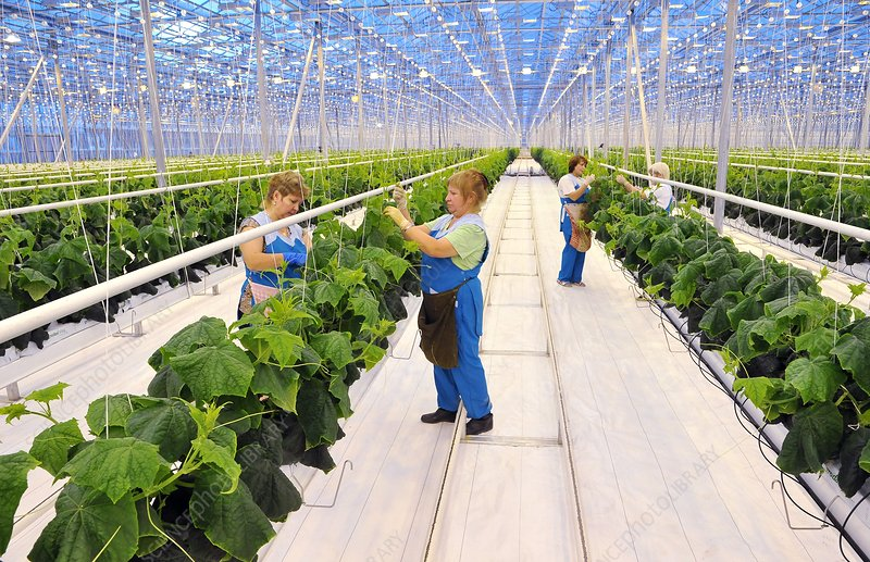 Workers tending squash plants