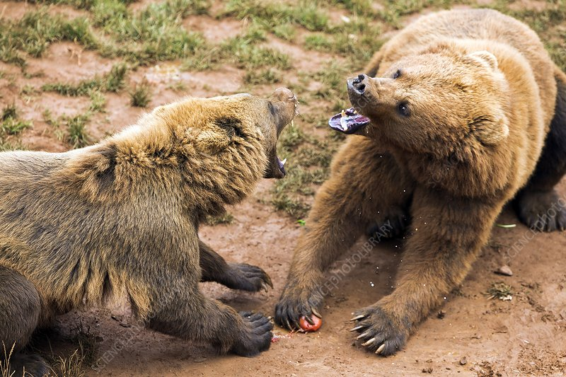 Eurasian brown bears fighting